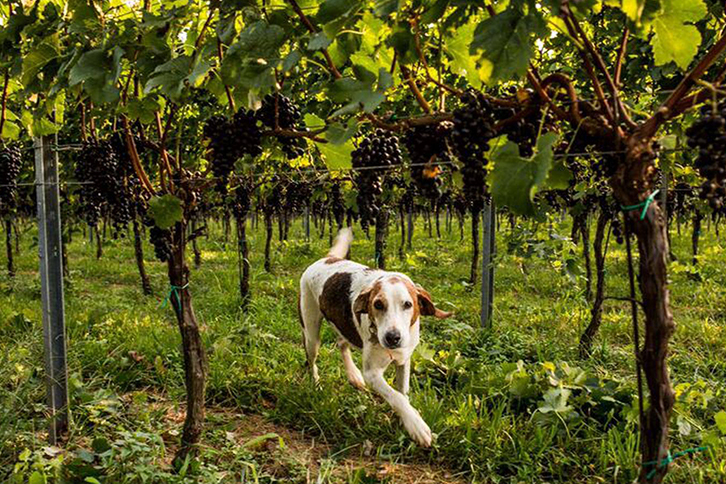 Canines & Vines
